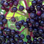 Why You Must Stock Elderberry in Your Medicine Cabinet.