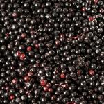 Elderberry 101