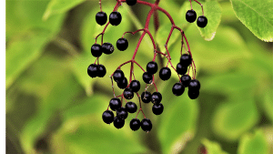elderberry plant in the wild